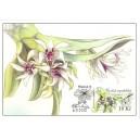 CM085 - Orchidej Dendrobium peguanum